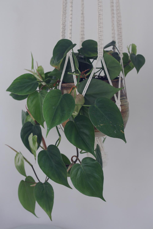 guldranke plante luftrenser