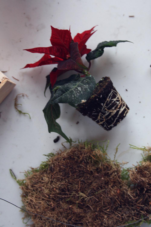 Julestjerne planteplanet DIY